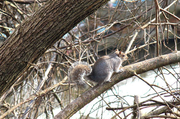 A squirrel dashing through trees along the River Thames in Weybridge, England, UK - Tily Travels.