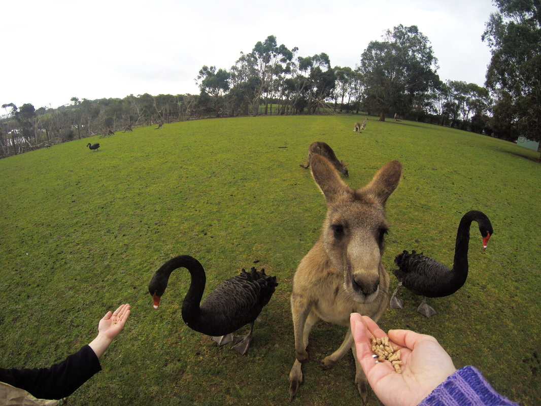 Phillip Island Wildlife Park, Drawing a crowd. Black swans and lots of roos.