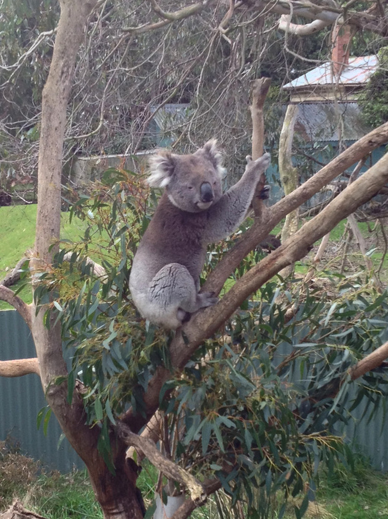 Phillip Island Wildlife Park, A koala resting in a tree.