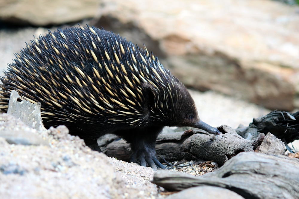 Australian wildlife: An Echidna foraging through rocks at Healesville Sanctuary.