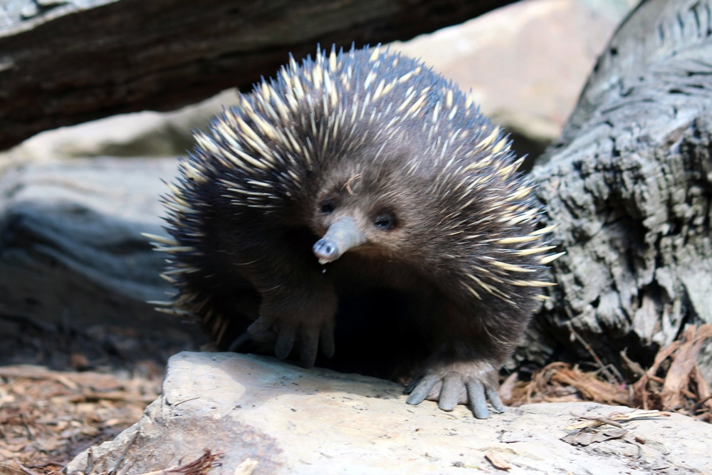 Australian wildlife: A cute Echidna foraging through rocks at Healesville Sanctuary.
