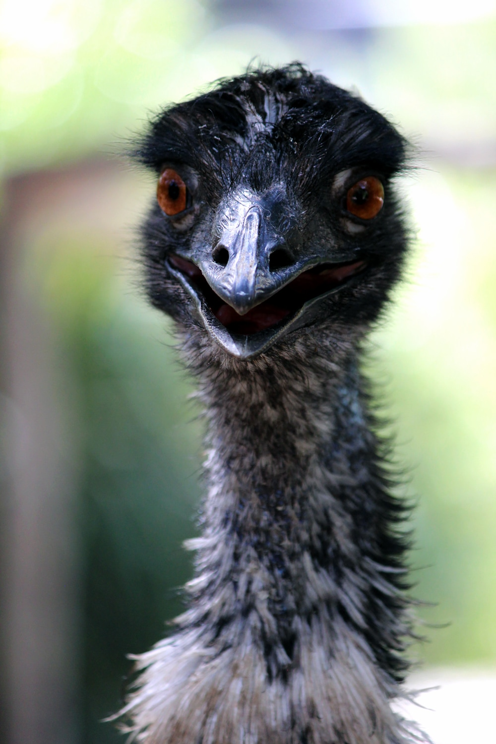 Australian wildlife - An inquisitive Emu stare at Healesville Sanctuary. (Aussie ostrich).