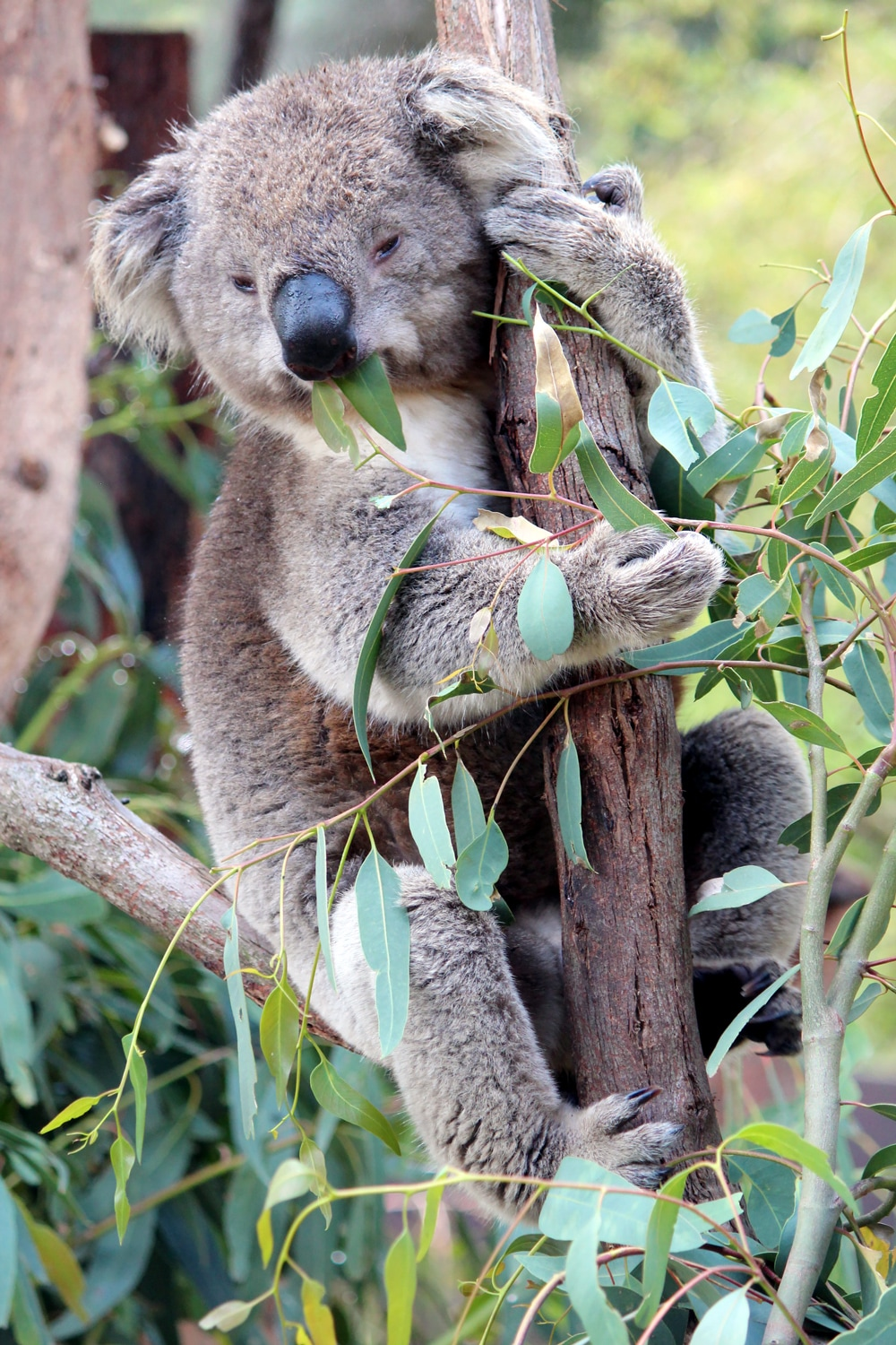 Australian wildlife: Koala eating gum leaves in a tree at Healesville Sanctuary.