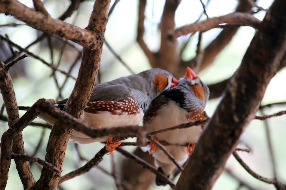 Australian wildlife: Love birds at Healesville Sanctuary.