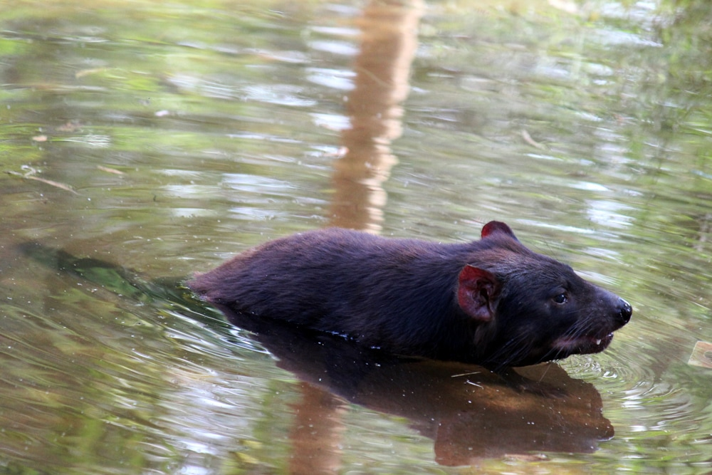Australian wildlife - A tasmanian devil swimming at Healesville Sanctuary.