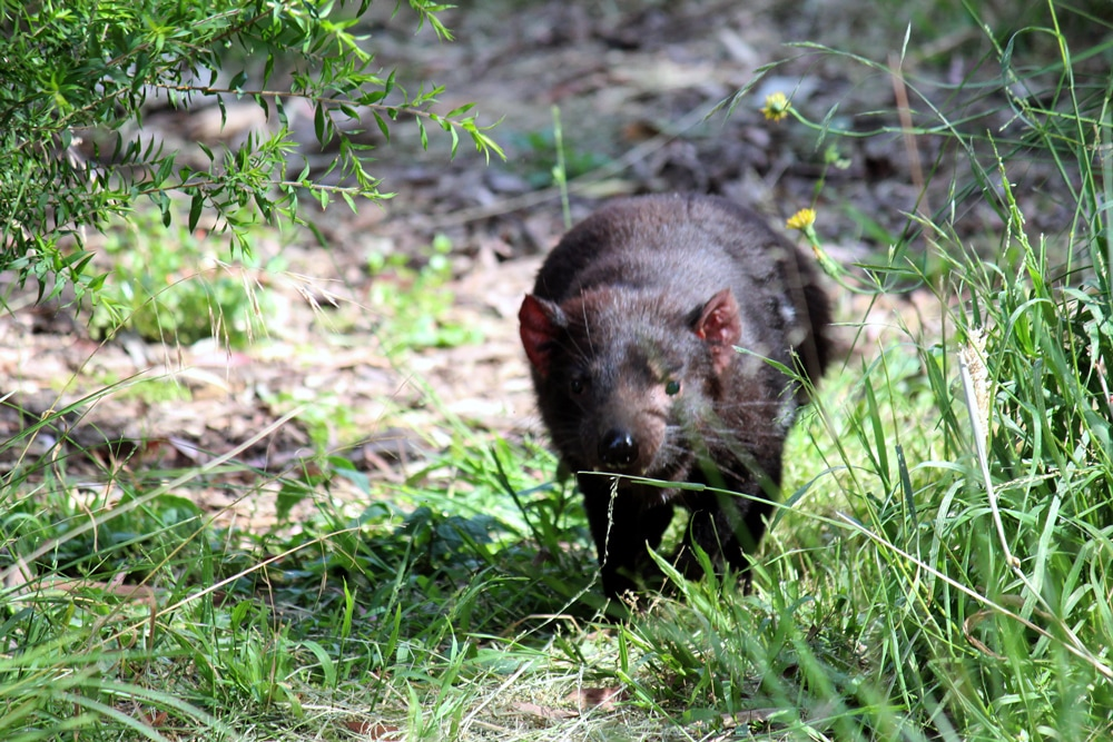 Australian wildlife - A tasmanian devil running at Healesville Sanctuary.