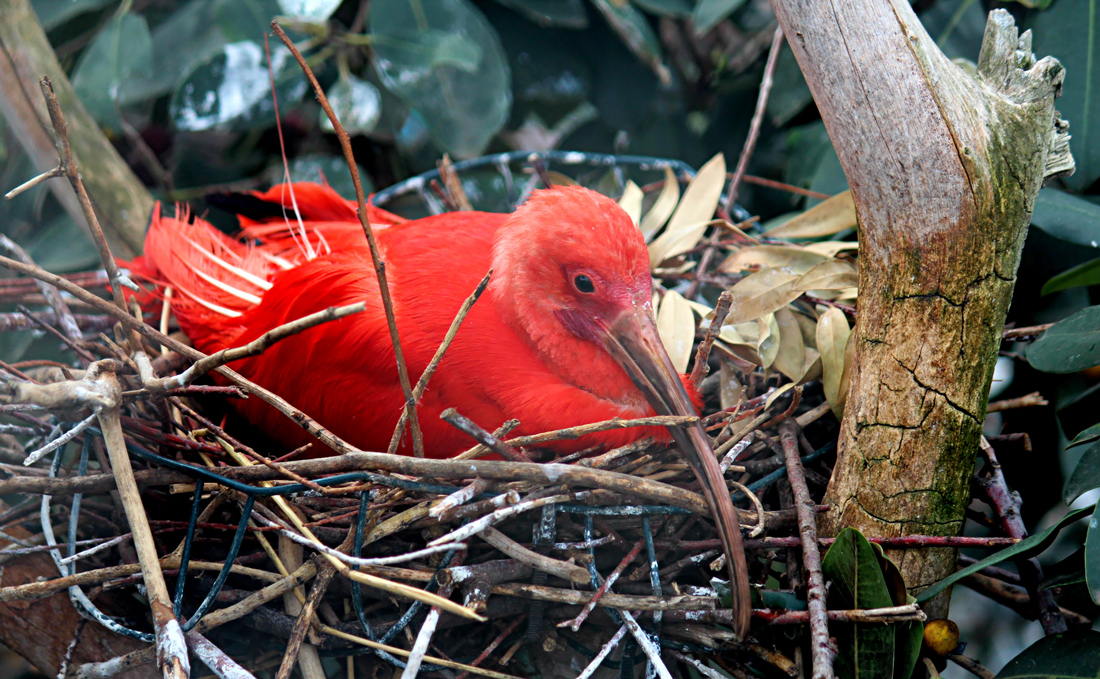 A red bird in the aviary at L'Oceanografic, Valencia, Spain.