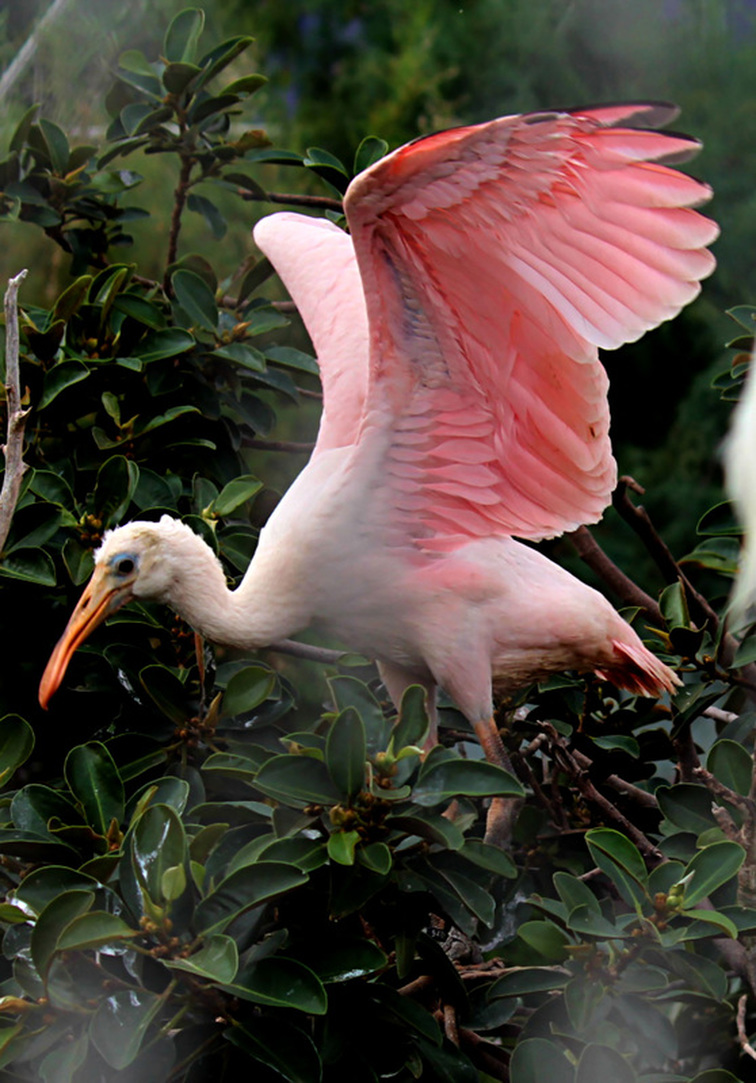 A pink bird in the aviary at L'Oceanografic, Valencia, Spain.