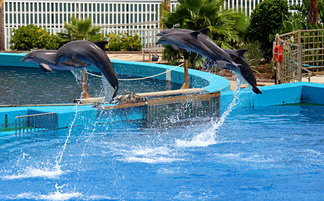 5 dolphins breaching/ leaping out of the water performing tricks at the dolphin show - Oceanographic, Valencia, Spain
