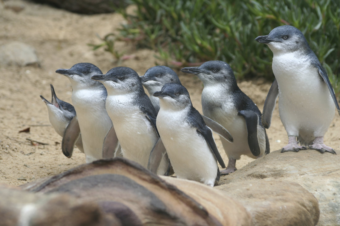 4 Incredible Islands to Visit in Australia - Penguin Parade, Summerland Beach, Phillip Island, Australia.