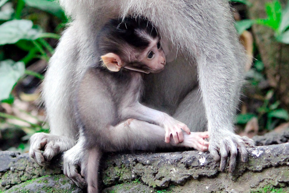 A baby monkey sticking close to his mother at the Sacred Monkey Forest. Bali, Ubud, Indonesia.