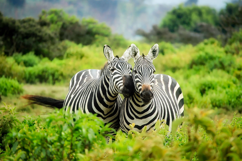 Wildlife Excursions Worthy Of Your Bucket List. Zebras.